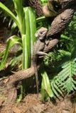 Iguanas comunes Fotografía de archivo libre de regalías