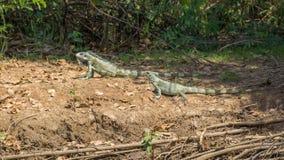 Iguanas couple in riverbank of Brazilian Pantanal Royalty Free Stock Photography