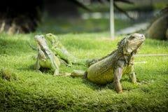 Iguanas de Guayaquil Imagen de archivo libre de regalías
