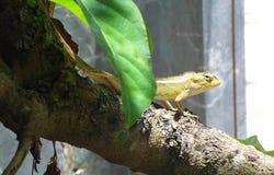 Iguanas del bebé en la rama de árbol Fotos de archivo