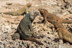 Iguanas del rinoceronte en el calentamiento de las rocas foto de archivo libre de regalías