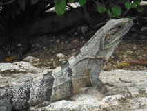 Iguana that gets warm in the sun in tropic royalty free stock images