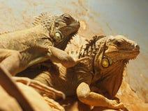 Iguanas em Heraklion Grécia Fotografia de Stock