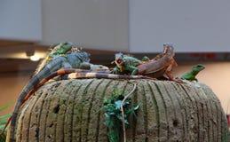 Iguanas em uma rocha Imagens de Stock