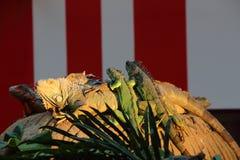 Iguanas em uma rocha Foto de Stock