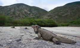 Iguanas en la entrada al Parque Nacional Isla Cabritos Imagenes de archivo