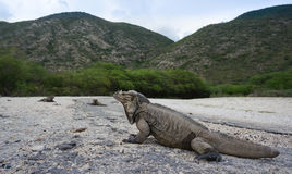 Iguanas at the entrance to the Parque Nacional Isla Cabritos Stock Images
