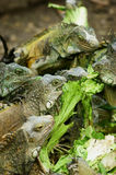 Iguanas Feeding in Ecuador Stock Images