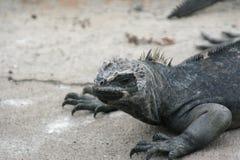 Iguanas Galapagos Islands Stock Photography