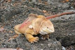 Iguanas Galapagos Islands Stock Photo