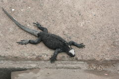 Iguanas Galapagos Islands Royalty Free Stock Image