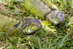 Iguanas on a green grass Stock Photography