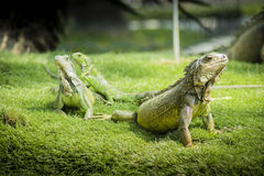 Iguanas of Guayaquil Royalty Free Stock Image