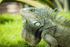 Iguanas of Guayaquil Stock Photography