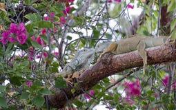 Iguanas head to head on a tree Royalty Free Stock Photography