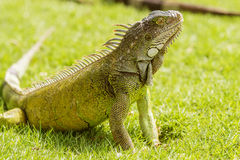 Iguanas at the Iguana park in downtown of Guayaquil, Ecuador. Stock Images