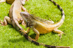 Iguanas at the Iguana park in downtown of Guayaquil, Ecuador. Stock Image