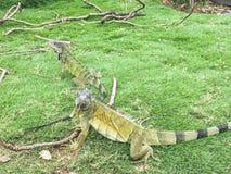 Iguanas juguetonas en el parque de Seminario, Guayaquil Ecuador Imagenes de archivo