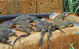 Iguanas laying Royalty Free Stock Photos