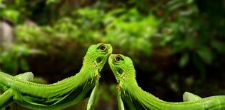 Iguanas in love. Couple of green Iguana in love Stock Image