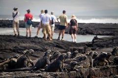Iguanas marinas en la isla de Fernandina, las Islas Galápagos Foto de archivo libre de regalías