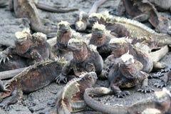 Iguanas marinas, las Islas Gal3apagos Imagen de archivo libre de regalías