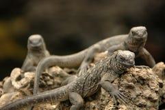 Iguanas marinhas fotografia de stock royalty free