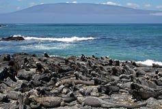 Iguanas marinhas em Fernandina, Galápagos Imagem de Stock