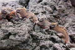 Iguanas marinhas em Santiago Island no parque nacional de Galápagos, Ec fotos de stock