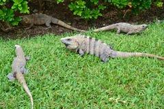 iguanas, naturaleza, zonas tropicales, el Caribe, Yucatán, Mex Fotos de archivo