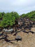 Iguanas in numbers. Sea iguanas beach lizards reptiles Royalty Free Stock Photos