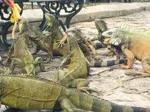 Iguanas que comen la fruta en el parque de Seminario, Guayquil Ecuador Imágenes de archivo libres de regalías