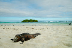 Iguanas relaxing by the beach in santa cruz Stock Images