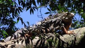 Iguanas, reptiles, animales salvajes almacen de video