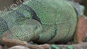 Iguanas, reptiles, animales salvajes almacen de metraje de vídeo