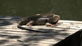 Iguanas, reptiles, animales salvajes metrajes