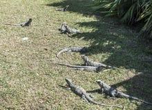 Iguanas in the resort hotel Stock Photo