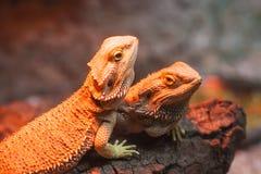 Iguanas Stock Image