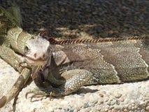 Iguanas Stock Photography