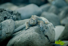 Iguanas in san cristobal galapagos islands Royalty Free Stock Photography