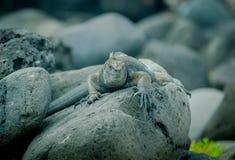 Iguanas in san cristobal galapagos islands Royalty Free Stock Photography