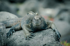 Iguanas in san cristobal galapagos islands Stock Photos