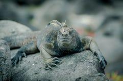 Iguanas in san cristobal galapagos islands Stock Photos
