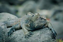 Iguanas in san cristobal galapagos islands Royalty Free Stock Photo
