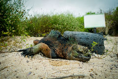 Iguanas in santa cruz galapagos islands Stock Photo
