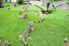 Iguanas Seminario Park Royalty Free Stock Photos