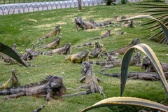 Iguanas at Seminario Park - Guayaquil, Ecuador Royalty Free Stock Photos