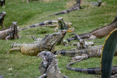 Iguanas at Seminario Park - Guayaquil, Ecuador Stock Image