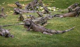 Iguanas at Seminario Park - Guayaquil, Ecuador Royalty Free Stock Image