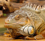 Iguanas sitting in terrarium Stock Photo